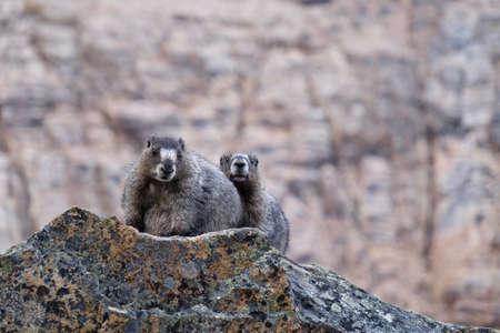 hoary: Two Hoary Marmots on rocks. Jasper National Park. Canadian Rocky Mountains. Alberta. Canada.