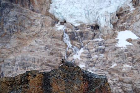 hoary: Hoary Marmot on rocks. Jasper National Park. Canadian Rocky Mountains. Alberta. Canada.