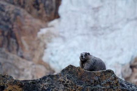 hoary: Hoary Marmot against glacier. Banff National Park. Canadian Rocky Mountains. Alberta. Canada.