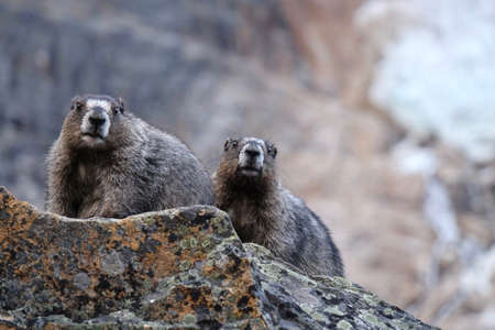 Couple of Hoary Marmots in mountains. Jasper National Park. Canadian Rocky Mountains. Alberta. Canada.