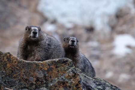 hoary: Two Hoary Marmots against glacier. Jasper National Park. Canadian Rocky Mountains. Alberta. Canada.