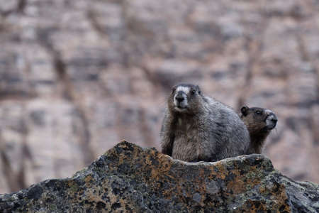 hoary: Two Hoary Marmots in Jasper National Park. Canadian Rocky Mountains. Alberta. Canada.