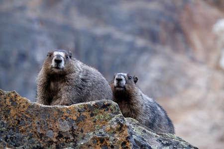 hoary: Couple of Hoary Marmots in Jasper National Park. Canadian Rocky Mountains. Alberta. Canada.