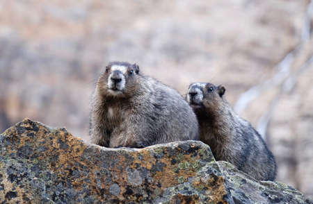 Hoary Marmots in Jasper National Park. Candian Rocky Mountains. Alberta. Canada. Stock Photo