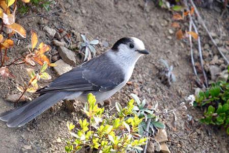 corvidae: Grey Jay or Whiskey Jack in Manning Park. Hope. British Columbia. Canada.