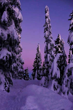 Trees under snow at sunset. Grouse Mountain. North Vancouver. British Columbia. Canada.