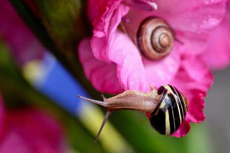 slow motion: Snail on pink flower gladiolus. Stock Photo