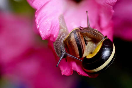Two snails on pink flower gladiolus. Stock Photo