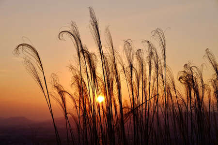 iluminado a contraluz: Glowing sunrise and grass silhouettes. Grass in low golden  morning light . Sharp image, correct composition, deep warm colors. Nara. Japan.