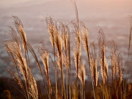 Glowing sunrise over city and grass silhouettes. Grass in low golden morning light . Sharp image, correct composition, deep warm colors. Nara. Japan.
