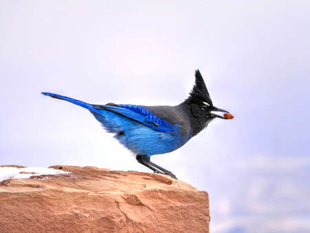 Stellers jay. Blue jay.  Native to western North America. Bryce Canyon National Park. Utah. United States.