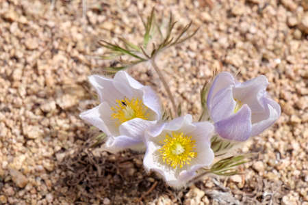 pasque: Close up of Pulsatilla or Pasque flower. Independece Pass near Aspen. Colorado. United States.