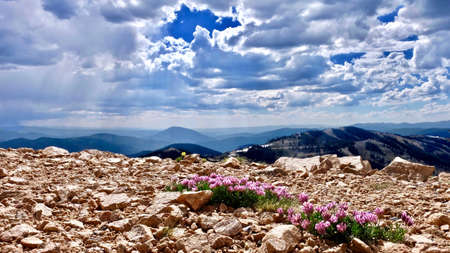 Alpine pink Clover flowers on mountains. Trifolium alpinum or Mountain Clover at Monarch Pass near Denver. Colorado. United States.