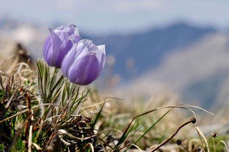 Blue Anemone. Pasque Flower or Pulsatilla.  Banff National Park. British Columbia. Canada.