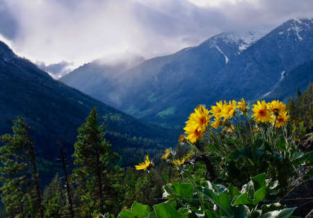 Arnica sunflowers in mountains. Cascade Mountains near Seattle and Leavernworth. Washington State. United States.