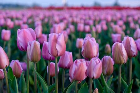 Pink tulips fields on sunset. Skagit Valley Tulip Festival. Seattle. Mount Vernon. WA. United States.