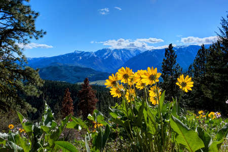 Arnica in alpine meadows. Sauers Mountain. Central Cascade Mountains. Leavenworth. Seattle. Washington. The United States.