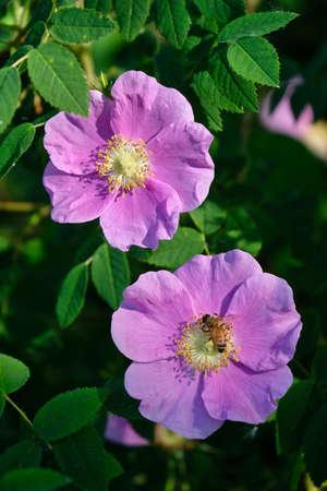 Wild Rose blossom. Edmonton. Alberta. Canada.