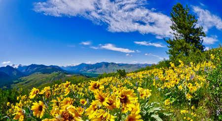 Arnica in alpine meadows. Patterson Mountain near Winthrop, Washington.  North Cascades National Park. USA.