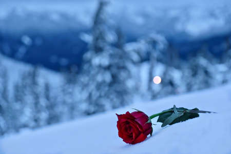 Red rose in snow. In a memory of the loved ones. Mountains after a heavy  snowfall. Mount Hood. Portland. Oregon. United States. Banco de Imagens
