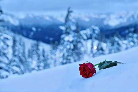 Red Rose In Snow In A Memory Of The Loved One Symbol Of Sadness