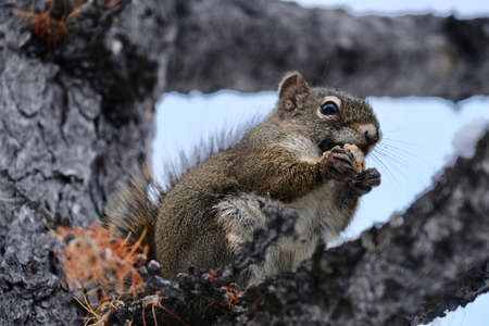 Squirrel with nut. Funny wild animal squirrel eating nut on larch tree brunch. Fall in Canadian Rockies. Alberta. Canada. Stock Photo