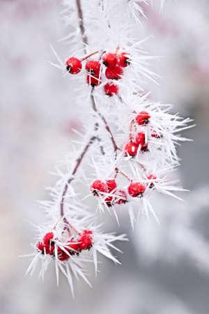 冬の木の枝に赤い果実の霜。アイダホ。米国。 写真素材