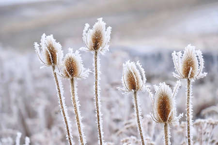 Frozen icy flowers in winter. Rime or hoar frost on teasel (Dipsacus sylvestris) on foggy winter day near Pullman, Palouse region in southwest Washington. United States. Stock Photo