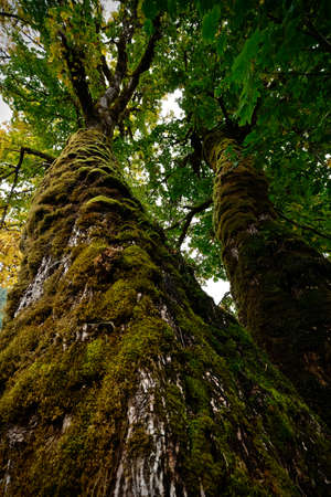Broad leaf Maple tree in Pacific rainforest. North Cascades Mountains National Park. Pacific Northwest. Seattle. Washington. United States of America.
