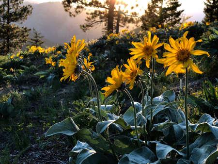 Arnica or Arrowleaf Balsamroot flowers in alpine meadows at sunset Stock Photo