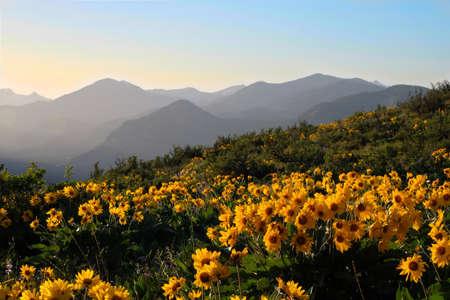 Arnica ou Balsamroot fleurit sur les prairies de North Cascades Randge. Winthrop. Etat de Washington. Les états-unis d'Amérique. Banque d'images