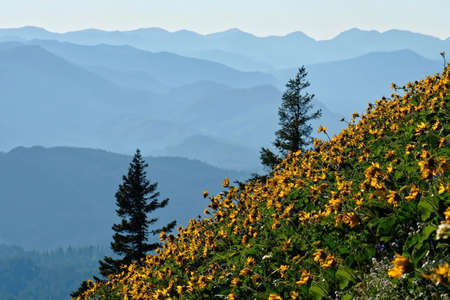 Arnica flowers in meadows in Oregon. Sunflowers or arrowleaf balsamroot on hills with mountains in the background. Dog Mountain in Columbia River Gorge. Washington. Seattle.  United States of America. 免版税图像