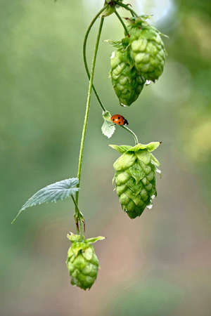 Hop vine with seeds cones and lady bug. Organic fresh farm produce.  Beer ingredients. Hop yard in Chilliwack near Vancouver. British Columbia. Canada. Standard-Bild