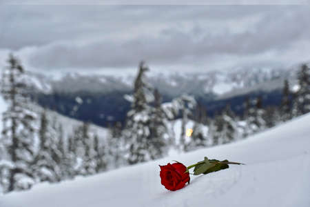 Red rose on white snow. Symbol of broken heart. Mountains and trees covered with snow and frozen red rose. Pacific Northwest. USA.
