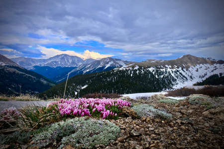 Clover flowers in alpine meadows. Clover pink blossoms in mountains on Independence Pass in Colorado. United States of America Stok Fotoğraf