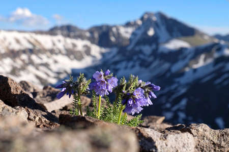 Skypilot blossoms on Independnce Pass. Snowy Sky Pilot flowers on rocks. Mount Whitney.  California. United States of America