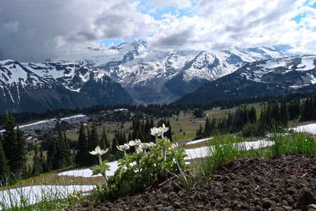 Sunrise Visitor Centre and parking lot in Mount Rainier National Park with wildflowers in alpine meadows in spring. Pulsatilla or Pasque Flowers blossoms. Hiking on Mount Rainier. WA. USA Stok Fotoğraf