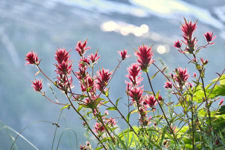Indian Paintbrush pink flower close up. Alpine meadows in Garibaldi Provincial Park near Whistler Village. British Columbia. Canada.
