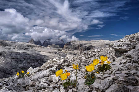 Yellow Poppy flowers on rocks with the view of Sassolungo in Dolomites in distance. Summer day hiking in Italy. Canazei. Italy. Banco de Imagens