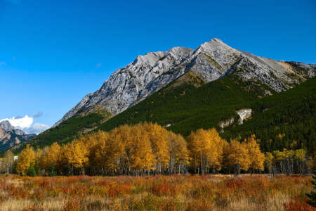 Autumn landscape with yellow aspen grove and mountains against blue sky on a clear warm day. Kananaskis Village. Alberta. Canada. 스톡 콘텐츠
