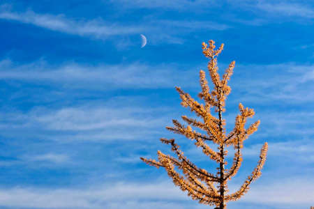 Yellow tree on the blue sky with a half moon and light clouds.  Simple  background image. Autumn colors in North Cascades National Park. Seattle. Washington. USA