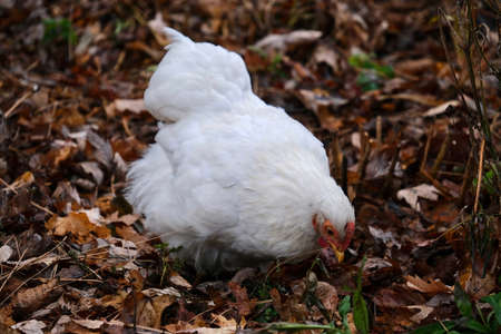 Hen picking up seeds in grass. White chicken female in farm. Salem. United States of America.