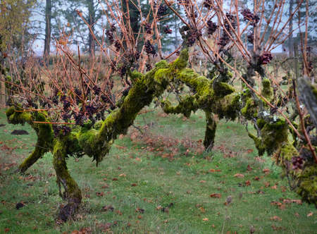 Old vine with grapes in autumn. Vineyard in Oregon. United States of America Фото со стока