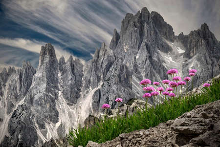 Pink wildflowers Primula in alpine meadows against sharp peaks in Dolomites near Three Peaks. Tre Cime Natural park. Cortina D'Amprezzo. South Tyrol. Italy.