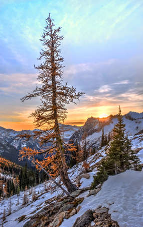 Yellow golden larch tree on cliff  covered with first snow with  sunset sky at the background in North Cascades National Park.  Pacific Northwest. Cascade Mountains Range. Washington State. USA.