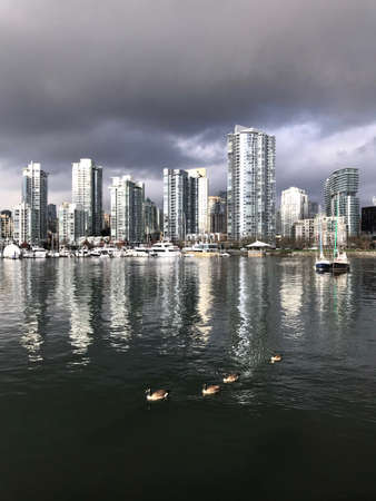 Canadian geese floating in False Creek with the view of Vancouver Yaletown and Marina.  Vancouver. British Columbia. Canada