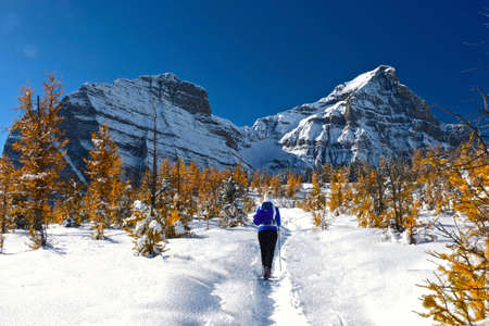 Woman walking snowshoeing in Canadian Rocky Mountains among golden larch trees. Early winter in Canadian Rockies. Alpine yellow larch forest. Banfff National Park. Alberta. Canada