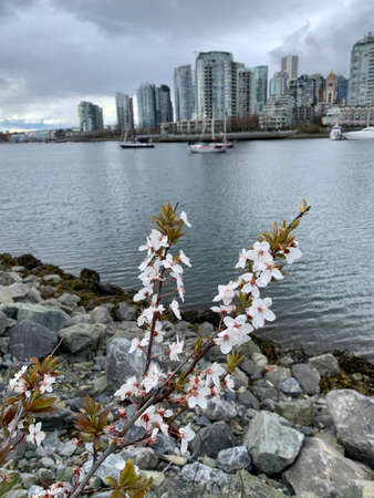 Seawall in spring. Cherry blossom on the seawall. Vancouver. BC. Canada