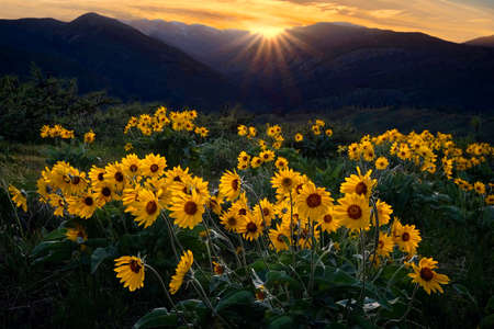 Arnica blossoms in alpine meadows in North Cascades near Winthrop. Washington State. United States of America