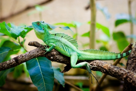 amphibious: Green lizard basiliscus sitting on a branch Stock Photo